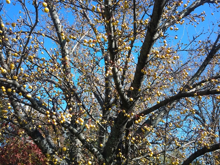 crab apples and sky