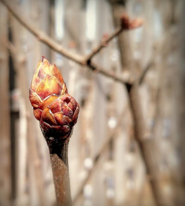 lilac bud 2