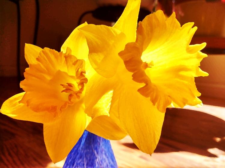daffodils, backlit