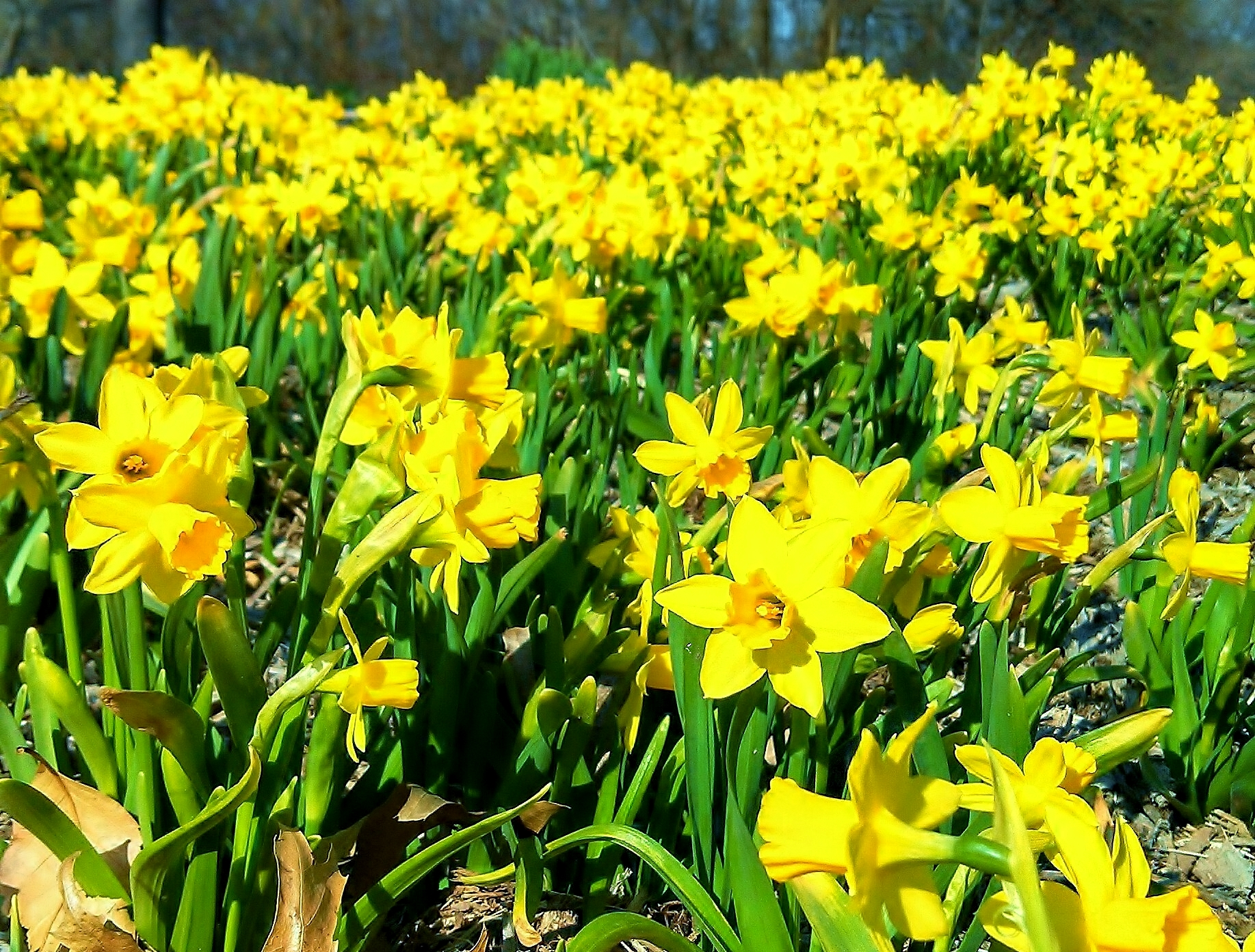 daffodils laughing