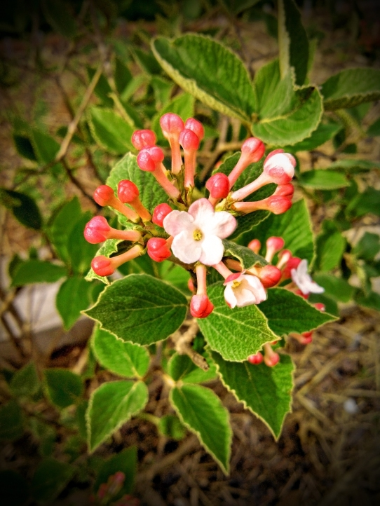 spicebush viburnum