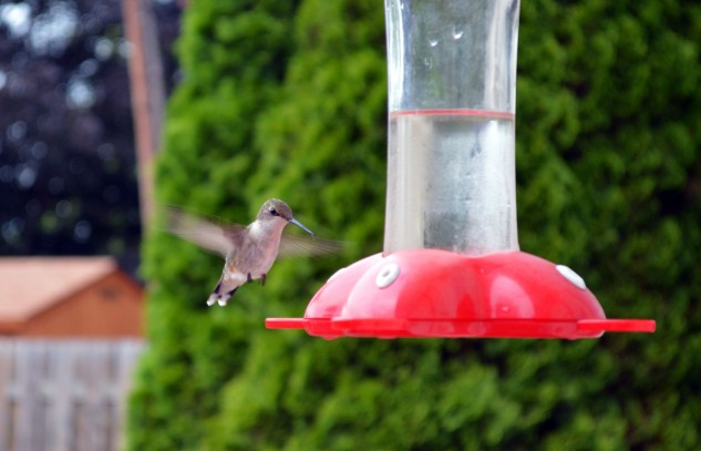 hummingbird-female-flight 2