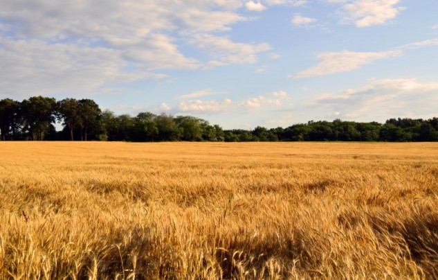 wheat-field 2