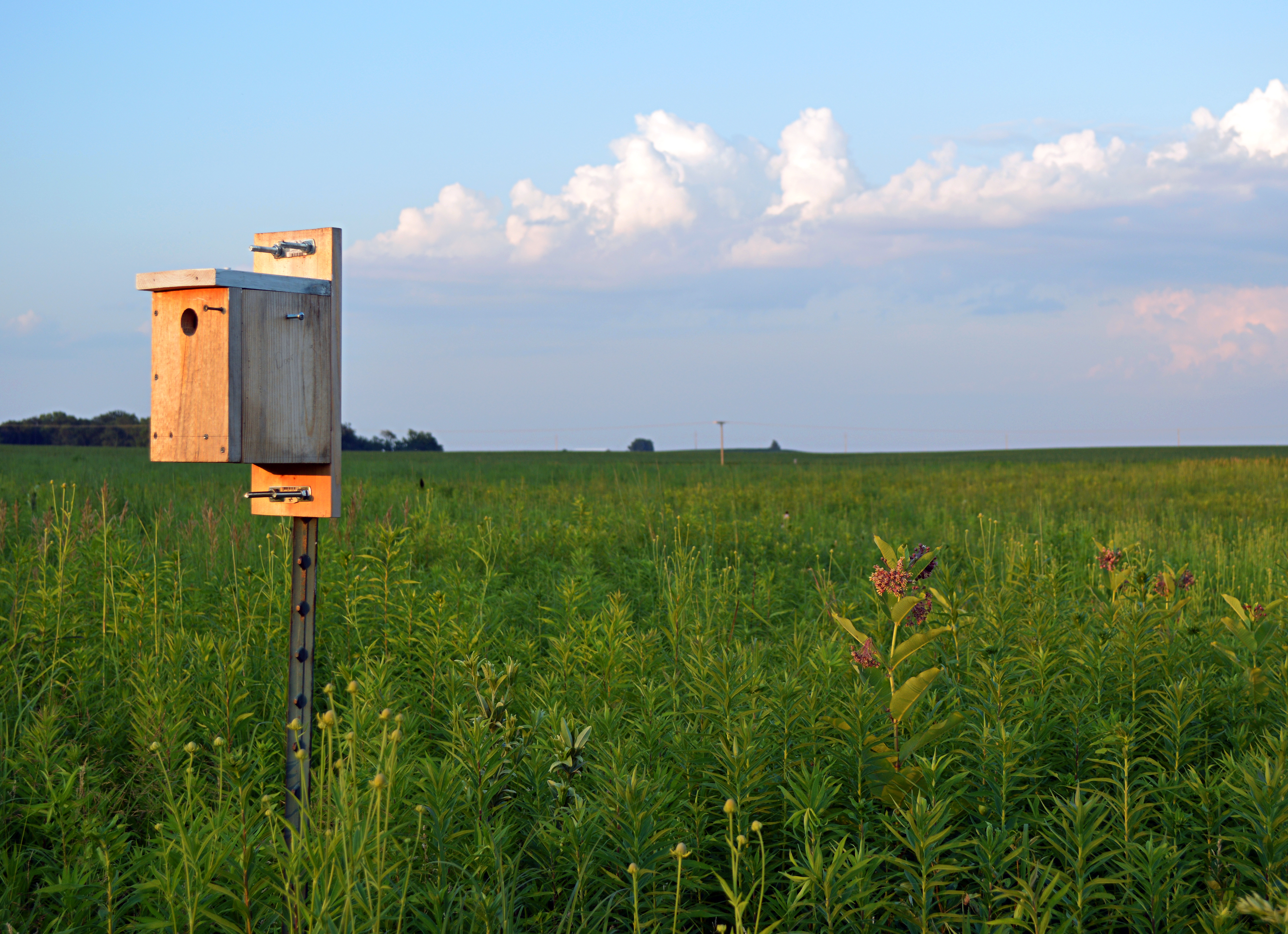 bluebird house and milkweed