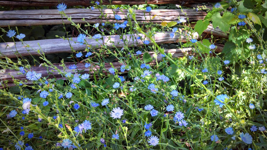 chicory and fence