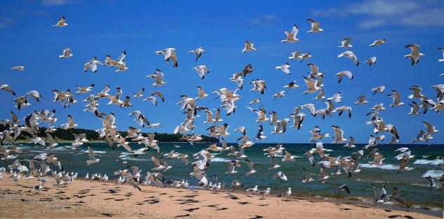 gulls2