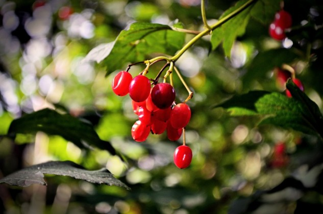 autumn berries 2