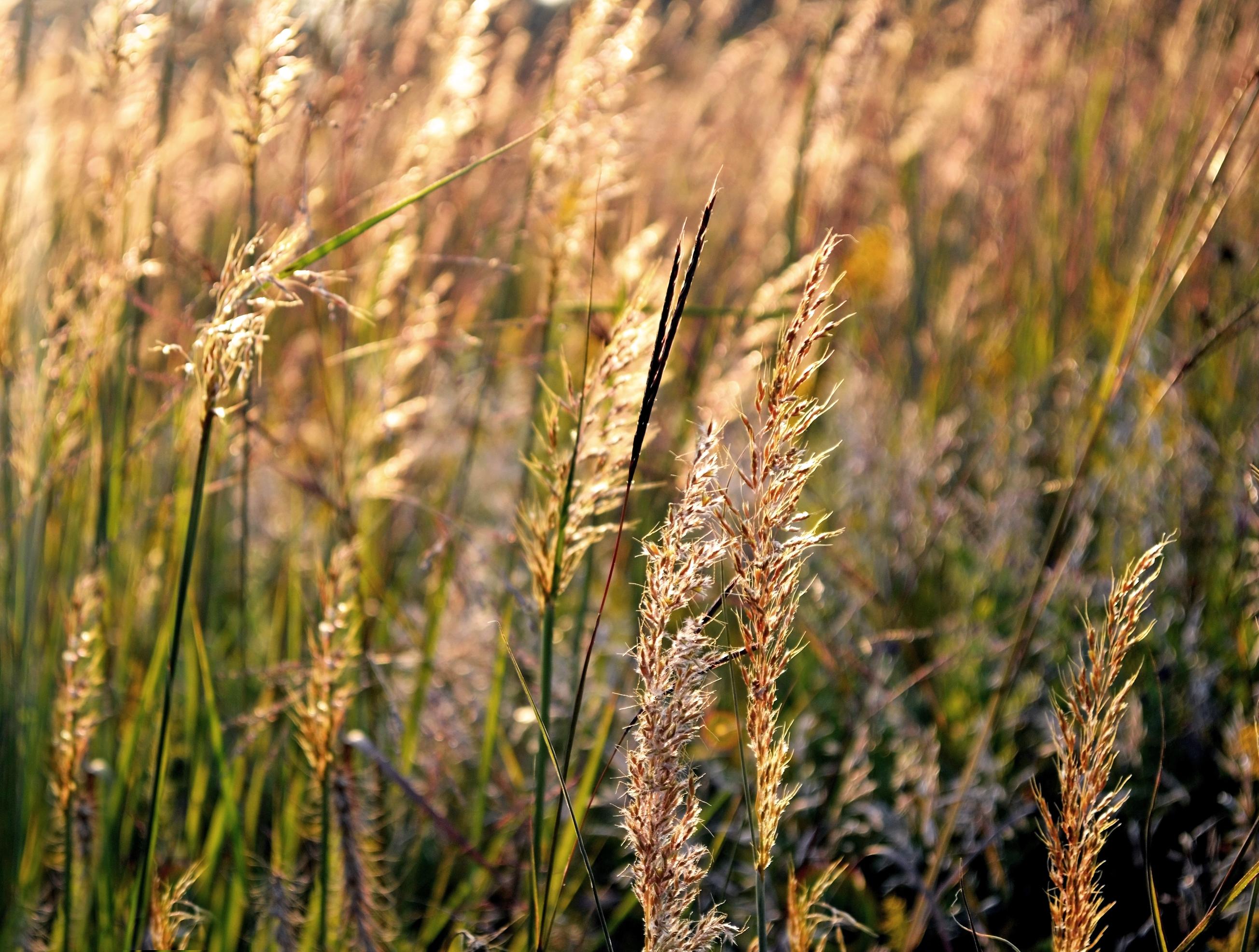 backlit grasses 2