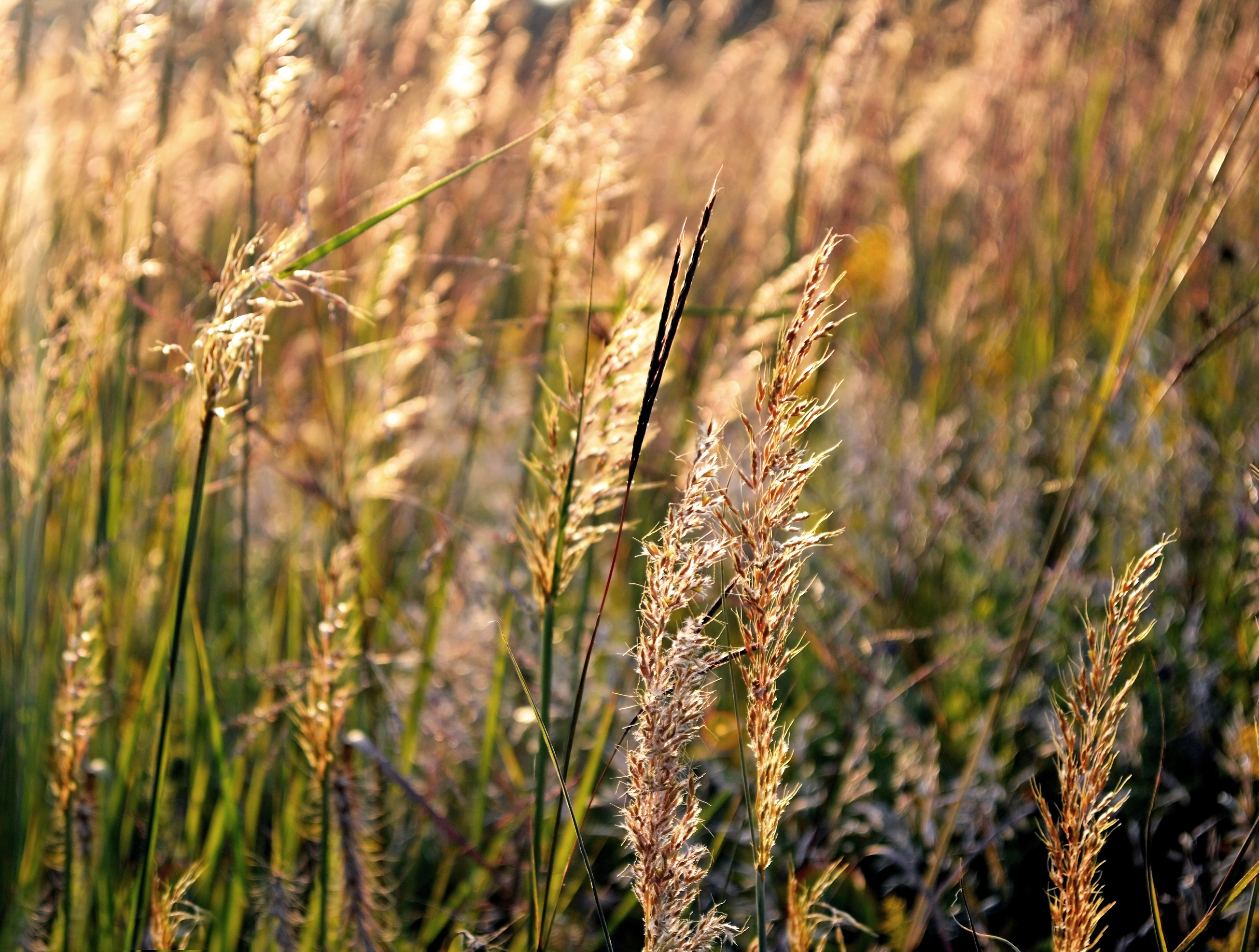 backlit grasses 2