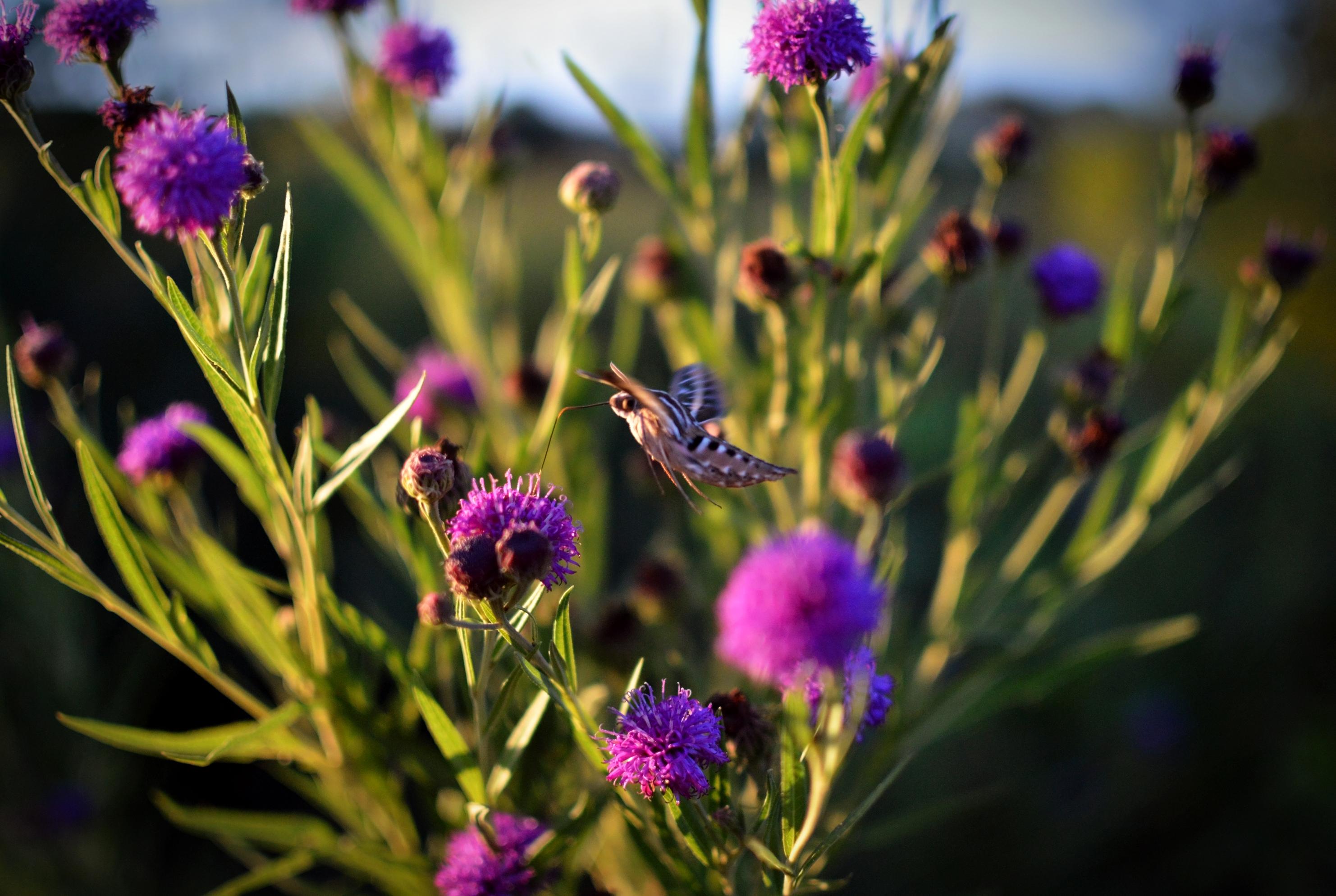 hummingbird moth 2
