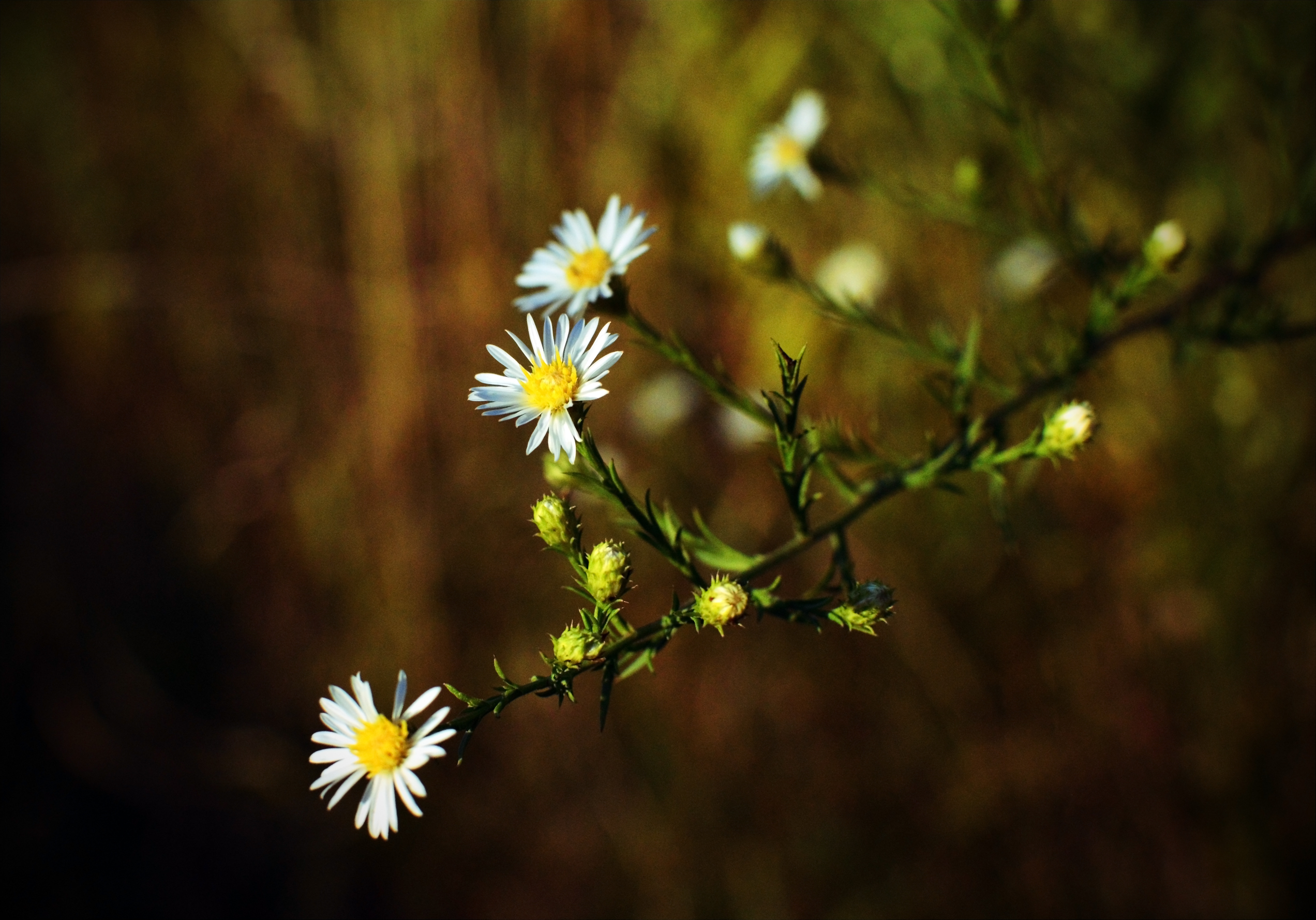 wild asters 2
