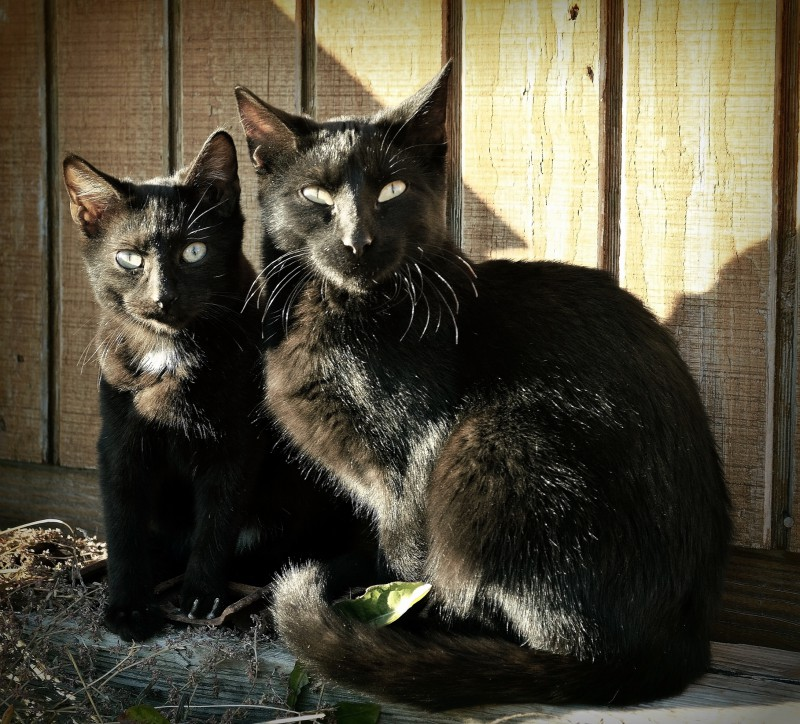 two black cats 2 2