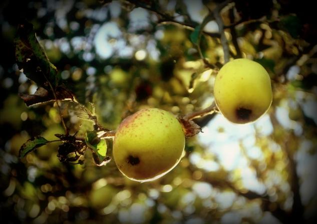 wild apples 2a