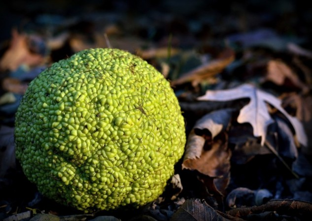 hedge apple 2