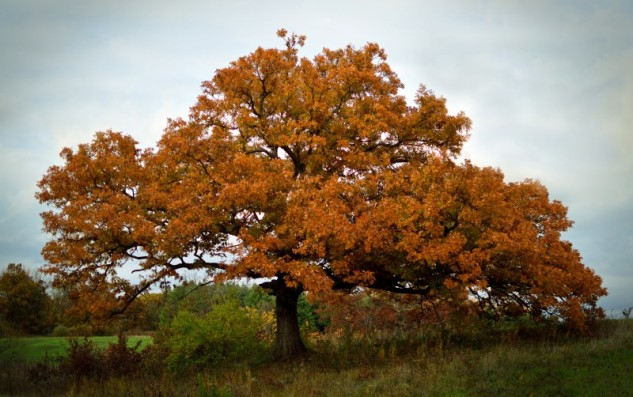 oak 2