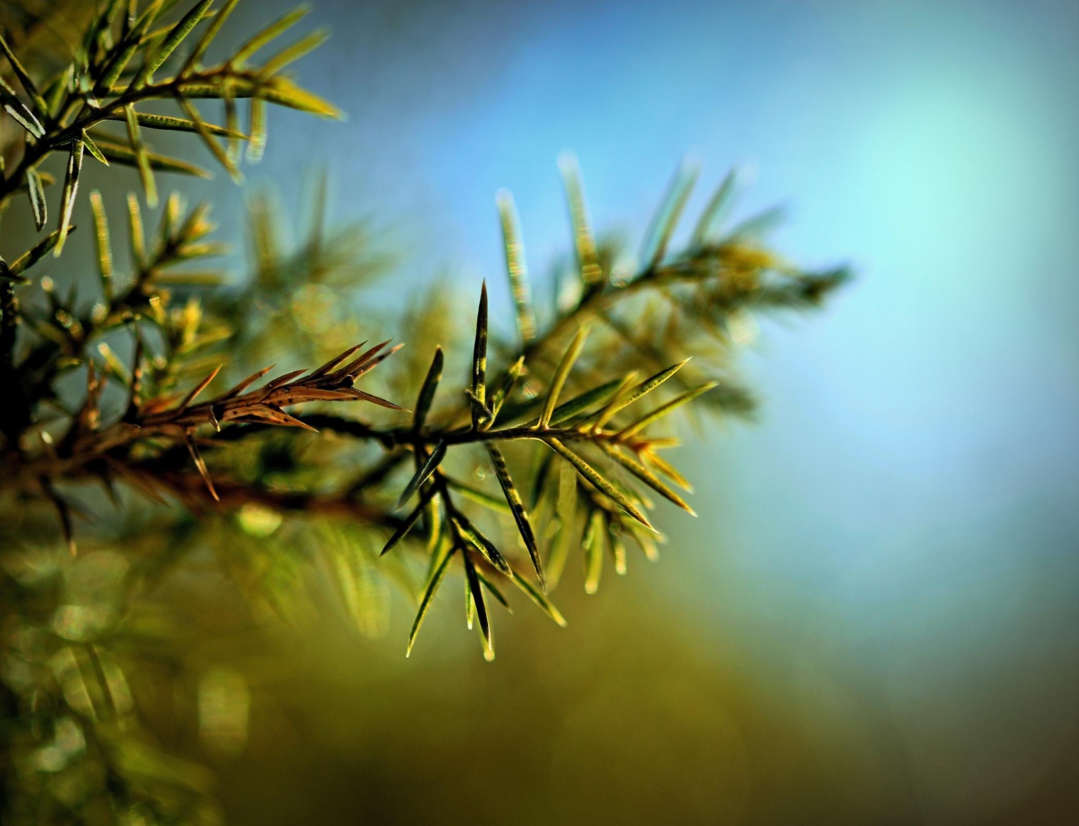 wild pine 2a