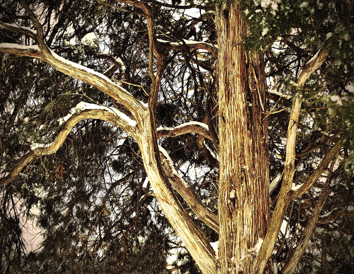 white cedar 2