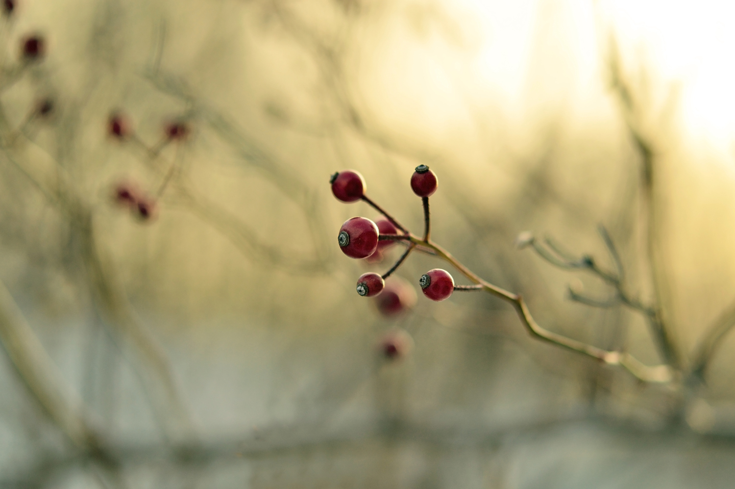 winterberries 2
