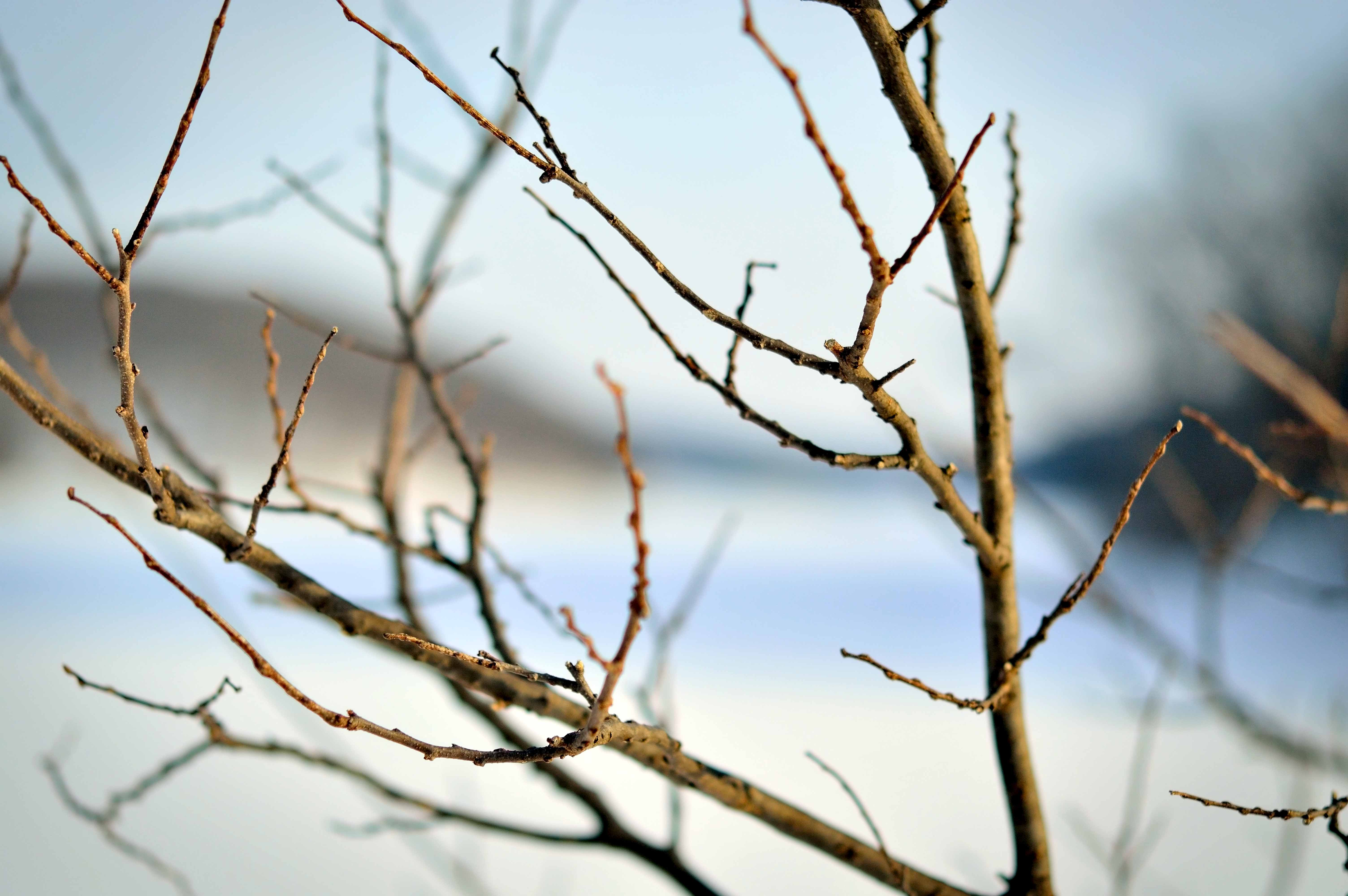 the softness of winter branches