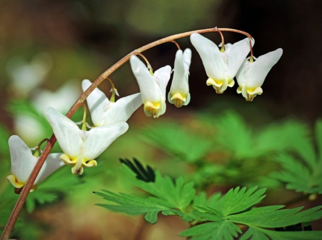 dutchman's breeches 2