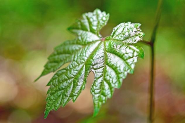 leaf and vine 2