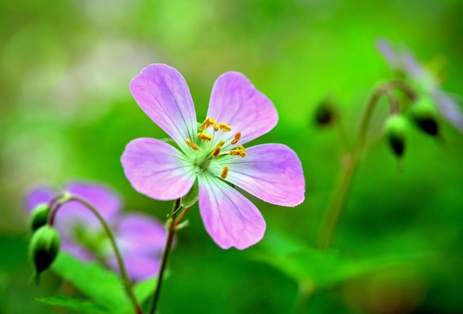 wild geranium 2