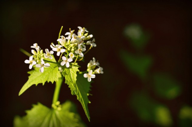 wildwood flower 2