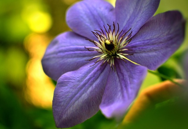 dave's clematis 2