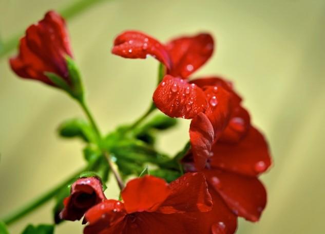 geranium red 2