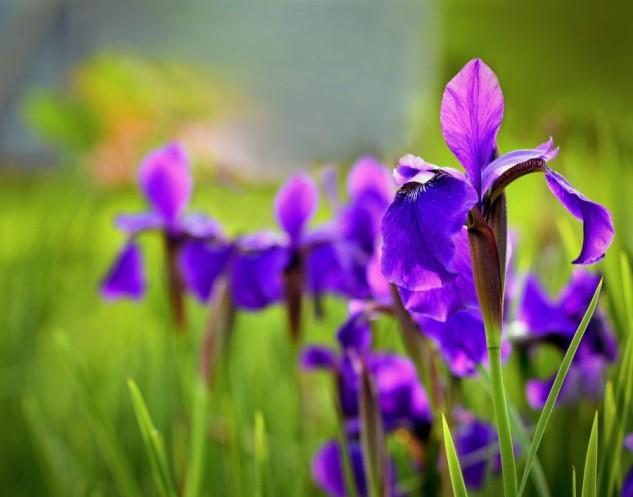 michael's irises 2