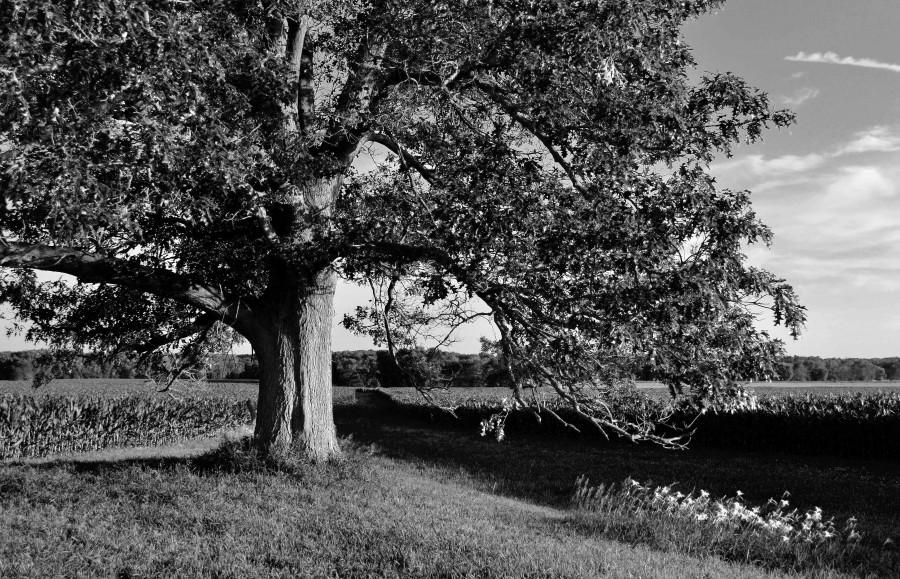 field oak 2