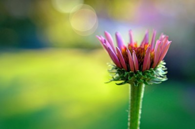lastlight coneflower 2