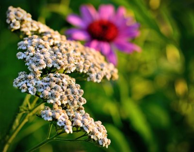 yarrow and coneflower 2