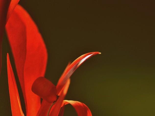 canna lily 2