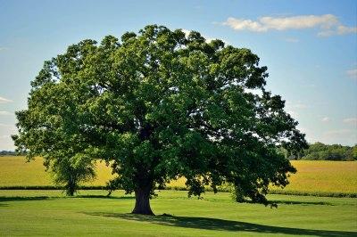old oak p2
