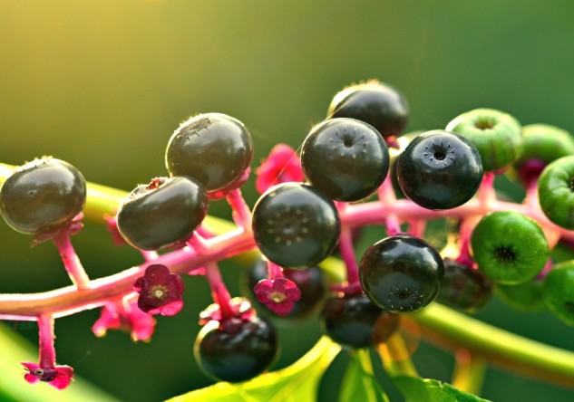 pokeweed berries 2