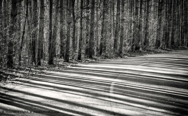 pine shadows 2