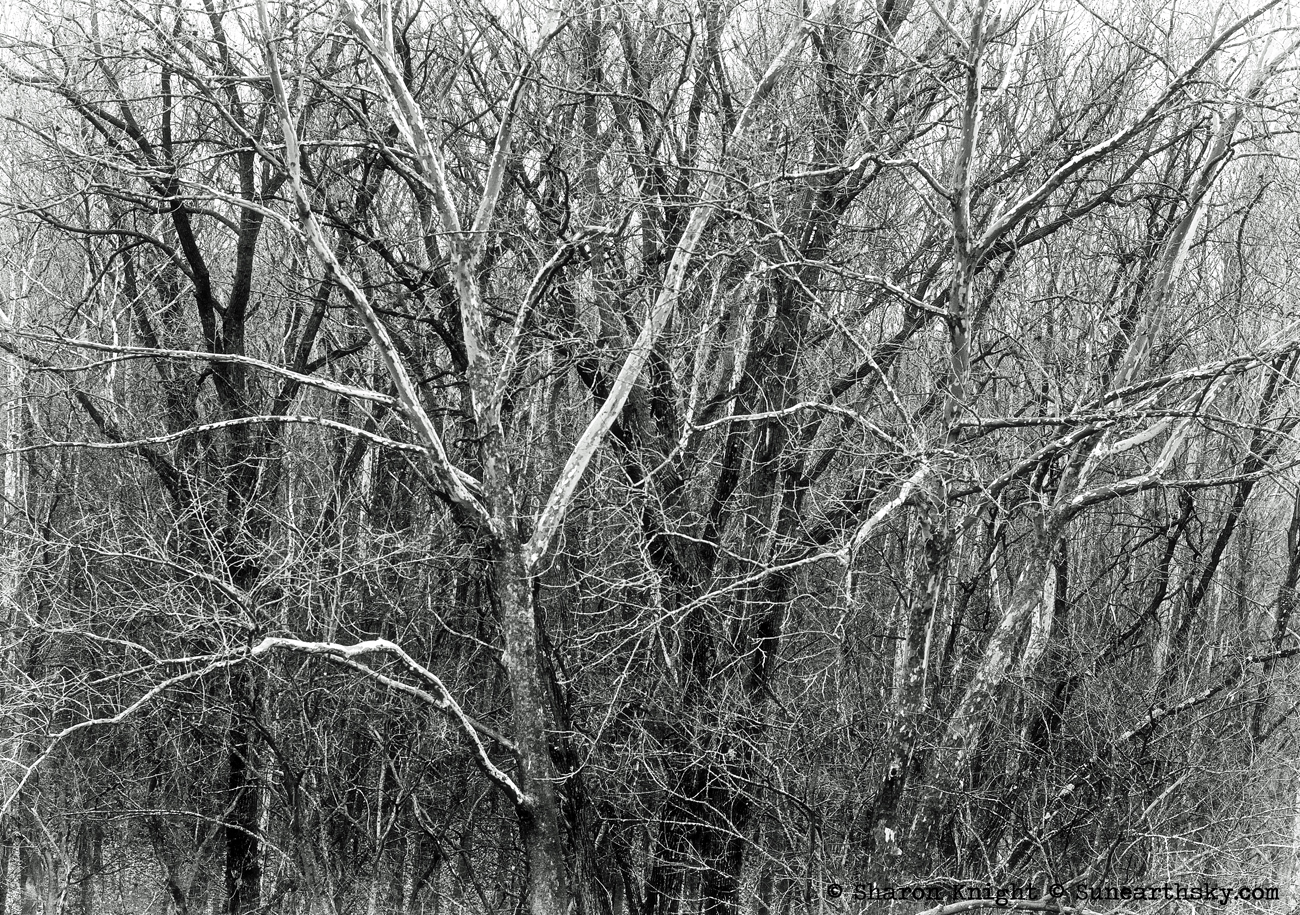 sycamore stand bw 2