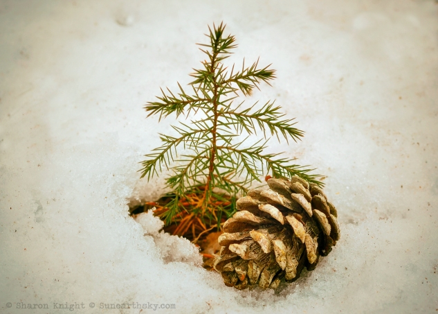 pinecone in snow 2