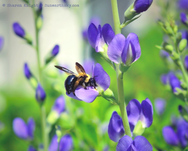 baptisia breakfast 2