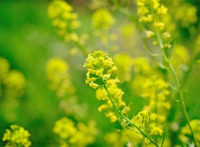 yellowgreen 2