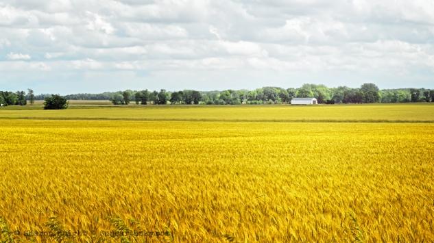summer wheat 2