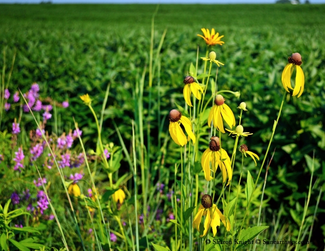 coneflowers and soybeans