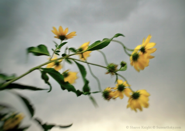 wild sunflowers and stormfront 2