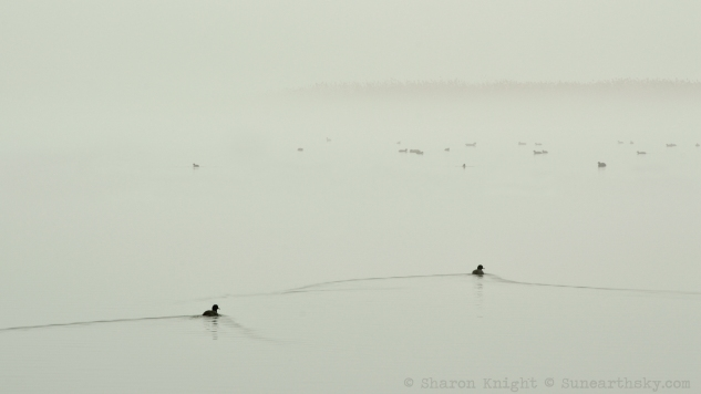 ducks in fog 2