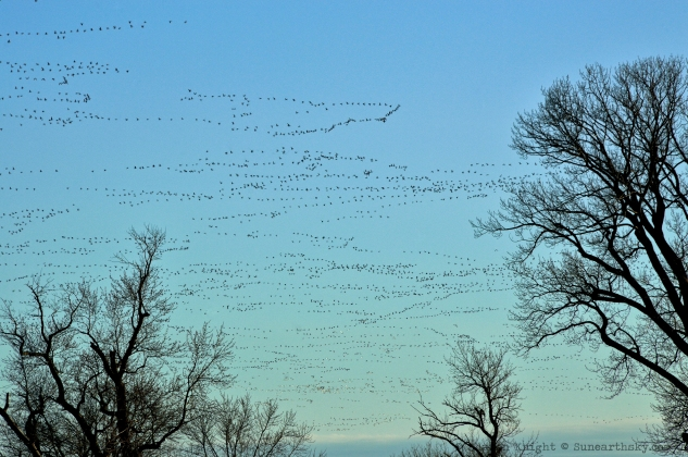 snow geese go to supper