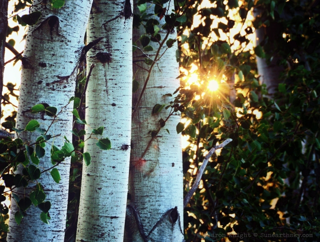 birches at sunrise 2