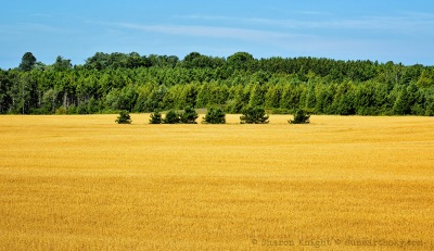 wheat field and pines 2