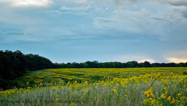 goldenrod-pasture-2