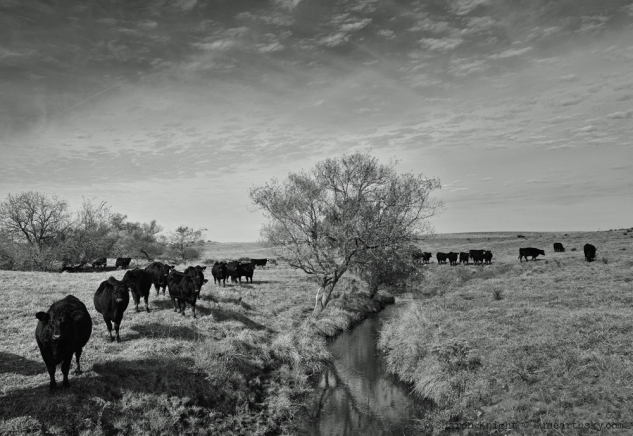 black-cows-at-a-creek-2